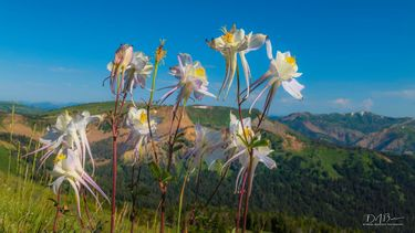 Columbine. Photo by Dave Bell.