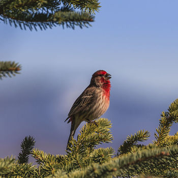 Cassin's Finch. Photo by Dave Bell.