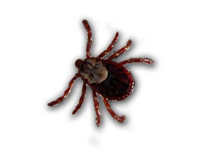 Tick from Wyoming