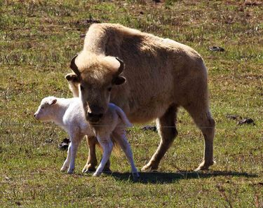 White bison calf