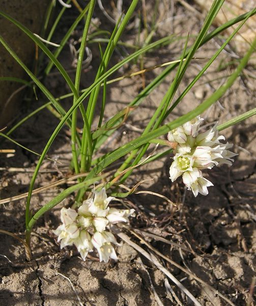 Wild Garlic (Allium canadense) - Illinois Wildflowers