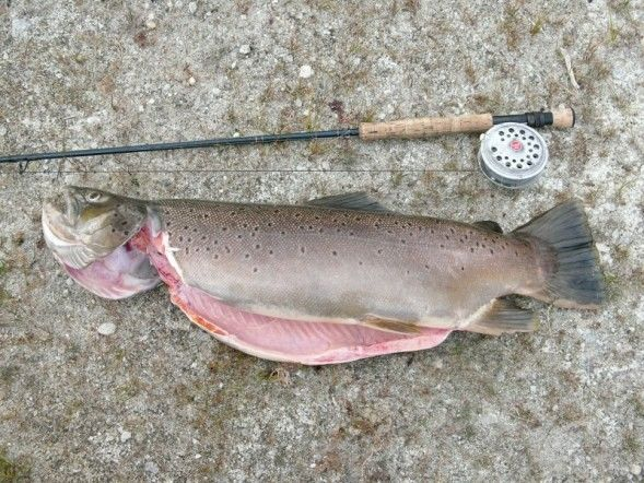 Big Brown Trout - Pinedale Online News, Wyoming