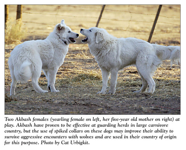 Using dogs to help protect livestock from predators