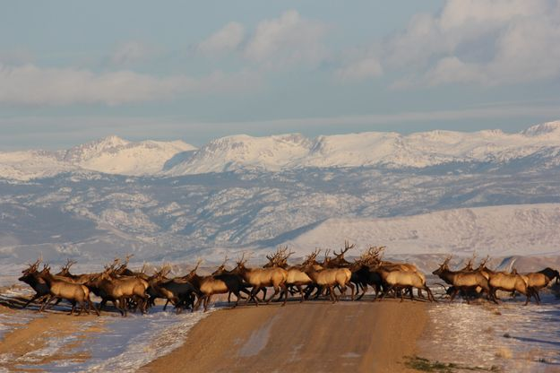 Bull elk - Pinedale Online News, Wyoming