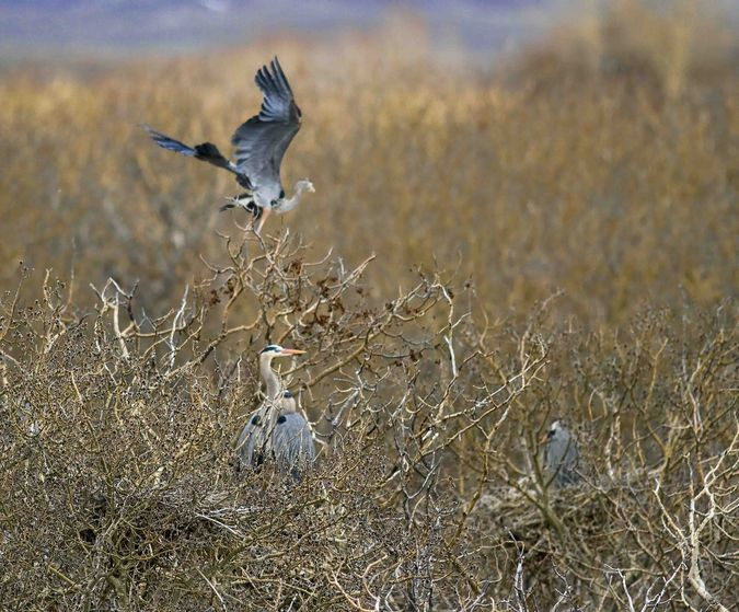 Great Blue Herons On The Nest. Photo by Dave Bell.