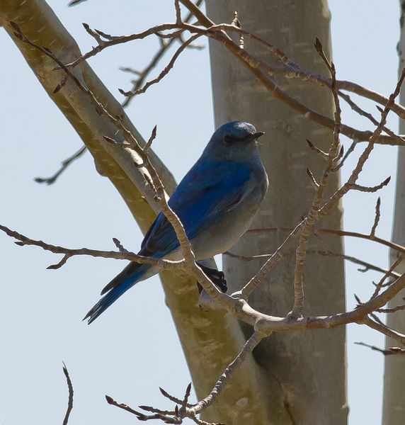 Bluebird. Photo by Dave Bell.