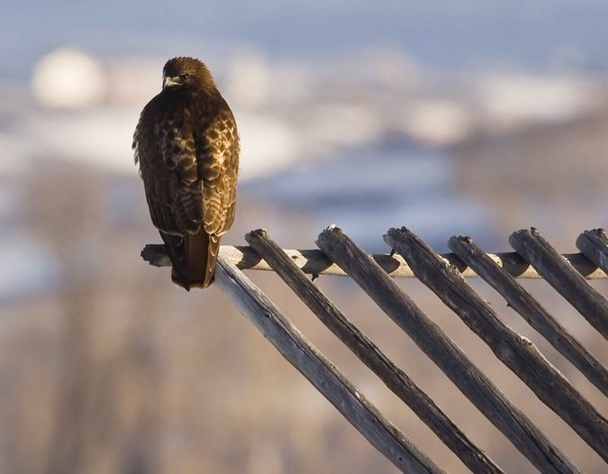 Hawk On Beaverslide. Photo by Dave Bell.