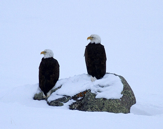 Two Eagles. Photo by Dave Bell.