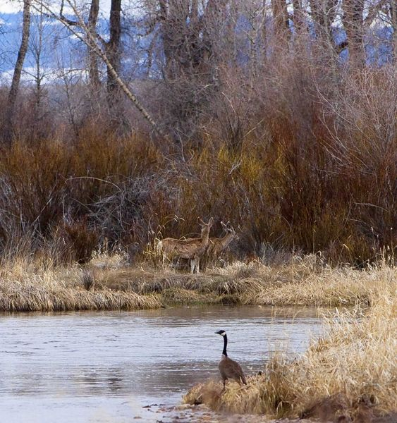 Deer And Geese On The Green. Photo by Dave Bell.