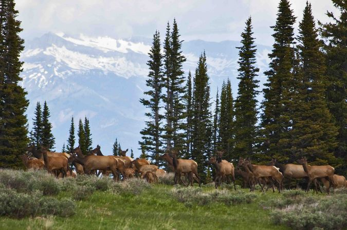 Elk Herd. Photo by Dave Bell.