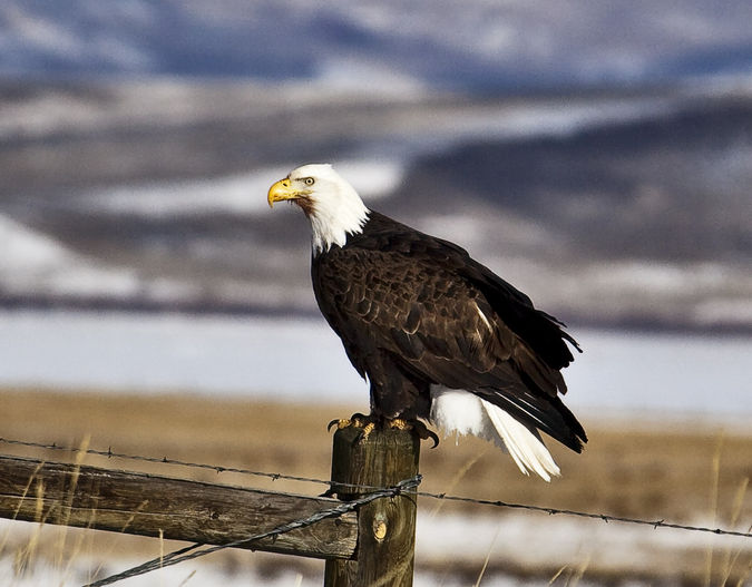 The Bald Eagle!. Photo by Dave Bell.