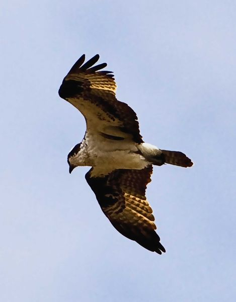 Hawk In Flight. Photo by Dave Bell.