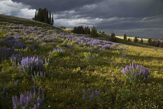 Late Sun and Lupine. Photo by Dave Bell.