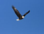 Bald Eagle In Flight. Photo by Dave Bell.
