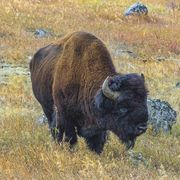 American Bison. Photo by Dave Bell.