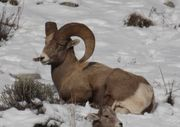 Bighorn Ram. Photo by Dave Bell.