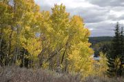 Yellow Aspens. Photo by Dave Bell.