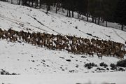 Elk On The Move. Photo by Dave Bell.
