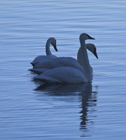 Tranquil Trumpeter Swans. Photo by Dave Bell.