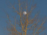 Moon Entangled In Aspen. Photo by Dave Bell.