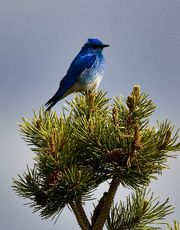 Mountain Bluebird Hardly Working. Photo by Dave Bell.