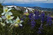 Columbine And Lupine. Photo by Dave Bell.
