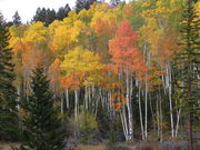 Aspen grove with orange and golden fall colors. Photo by Scott Almdale.
