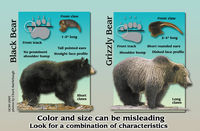 Characteristic differences between black and grizzly bears.