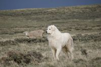 Livestock guardian dog 'Rena' went missing in November 2011 when a good samaritan picked her up thinking she was 'lost', when she was actually out with her sheep herd east of Marbleton. Photo courtesy Cat Urbigkit.
