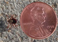 Ticks are small. This tick and penny are approximately 4X actual size.  Pinedale Online photo.